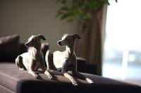 ソファーに座った二匹の犬