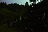 小川沿いに群れ飛ぶゲンジボタル 22995000471| 写真素材・ストックフォト・画像・イラスト素材|アマナイメージズ