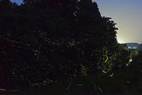 小川沿いに群れ飛ぶゲンジボタル 22995000473| 写真素材・ストックフォト・画像・イラスト素材|アマナイメージズ