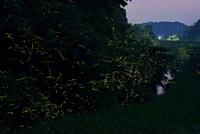 小川沿いに群れ飛ぶゲンジボタル 22995000476| 写真素材・ストックフォト・画像・イラスト素材|アマナイメージズ