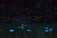 夏の夜に群れ飛ぶゲンジボタル 22995000478| 写真素材・ストックフォト・画像・イラスト素材|アマナイメージズ