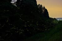 小川に沿って群れ飛ぶゲンジボタル 22995000480| 写真素材・ストックフォト・画像・イラスト素材|アマナイメージズ
