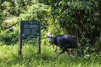 世界遺産の湿潤熱帯地域に生息するヒクイドリ
