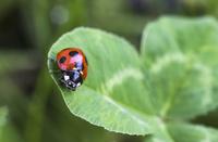 シロツメクサの葉にとまるナナホシテントウ 22995000722| 写真素材・ストックフォト・画像・イラスト素材|アマナイメージズ