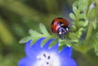 ネモフィラの葉にとまるナナホシテントウ 22995000723| 写真素材・ストックフォト・画像・イラスト素材|アマナイメージズ