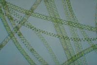 アオミドロ 23018000084| 写真素材・ストックフォト・画像・イラスト素材|アマナイメージズ