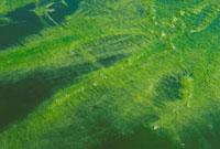 淡水藻 23018000097| 写真素材・ストックフォト・画像・イラスト素材|アマナイメージズ