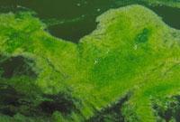 淡水藻 23018000098| 写真素材・ストックフォト・画像・イラスト素材|アマナイメージズ