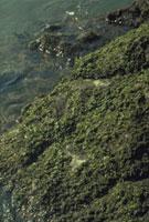 ヒトエグサ 23018000525| 写真素材・ストックフォト・画像・イラスト素材|アマナイメージズ