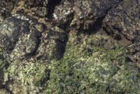 ヒトエグサ 23018000526| 写真素材・ストックフォト・画像・イラスト素材|アマナイメージズ