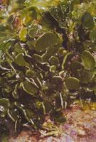 ヒロハサボテングサ 23018001041| 写真素材・ストックフォト・画像・イラスト素材|アマナイメージズ