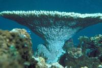 枝サンゴ 23018002063| 写真素材・ストックフォト・画像・イラスト素材|アマナイメージズ