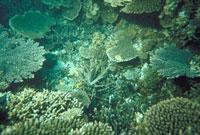 サンゴ群 23018002066| 写真素材・ストックフォト・画像・イラスト素材|アマナイメージズ