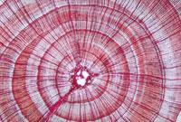 杉の年輪 23018002098| 写真素材・ストックフォト・画像・イラスト素材|アマナイメージズ