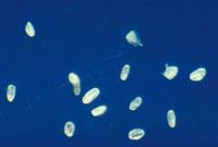 ナンバンギセルの花粉