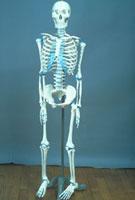 人骨模型 23018002599| 写真素材・ストックフォト・画像・イラスト素材|アマナイメージズ