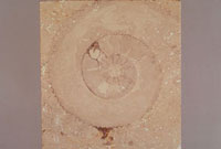 アンモナイト 23018002930| 写真素材・ストックフォト・画像・イラスト素材|アマナイメージズ