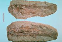 魚類 魚の化石 23018002959| 写真素材・ストックフォト・画像・イラスト素材|アマナイメージズ