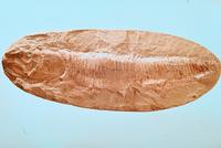 魚類 アスピドリンクス 23018002961| 写真素材・ストックフォト・画像・イラスト素材|アマナイメージズ
