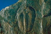 バイリエラ三葉虫類
