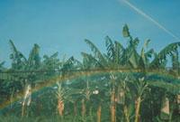 虹 バナナ畑 23018003125| 写真素材・ストックフォト・画像・イラスト素材|アマナイメージズ