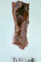 オレオドンの歯