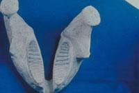 ナウマン象(下顎) 23018003248| 写真素材・ストックフォト・画像・イラスト素材|アマナイメージズ