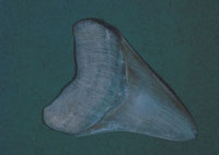 メガロドンの歯の化石 23018003272| 写真素材・ストックフォト・画像・イラスト素材|アマナイメージズ
