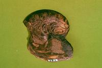 オウム貝の一種
