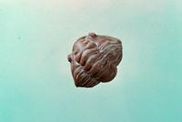 フレキシカリメネ 23018003279| 写真素材・ストックフォト・画像・イラスト素材|アマナイメージズ