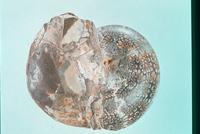 フィロパキセラス 23018003288| 写真素材・ストックフォト・画像・イラスト素材|アマナイメージズ