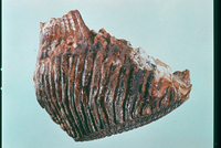 マンモス(歯) 23018003295| 写真素材・ストックフォト・画像・イラスト素材|アマナイメージズ