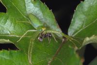 ワカバグモに捕らえられるアリ