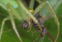 ワカバグモに捕食されるアリ