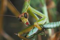オンブバッタを捕食するカマキリ 23018004138| 写真素材・ストックフォト・画像・イラスト素材|アマナイメージズ