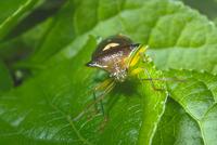 卵を守るエサキモンキツノカメムシのメス