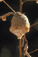 オオカマキリの卵