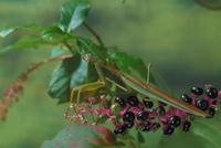 オオカマキリ 23018004474| 写真素材・ストックフォト・画像・イラスト素材|アマナイメージズ