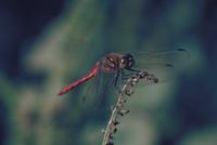 アキアカネ 23018004777| 写真素材・ストックフォト・画像・イラスト素材|アマナイメージズ
