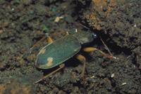 オオアトボシアオゴミムシ