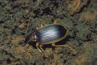 コキベリアオゴミムシ