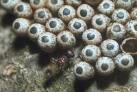 クスサンの卵に寄生しようするシロオビタマゴバチ