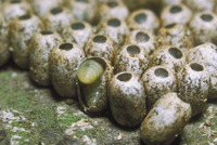 クスサンの卵に寄生するシロオビタマゴバチ