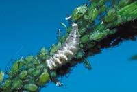 アブラムシを捕食するヒラタアブの1種