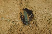 巣穴を掘るムツボシベッコウ(ムツボシクモバチ)
