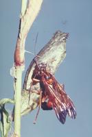 アゲハヒメバチ 23018005419| 写真素材・ストックフォト・画像・イラスト素材|アマナイメージズ