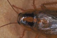 チャバネゴキブリ