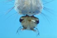 カの幼虫(ボウフラ)