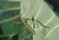 シリブトガガンボ