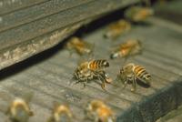 入り口で送風するミツバチ